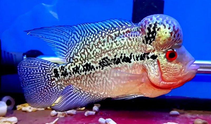 Jenis Ikan Louhan Kemalau.jpg