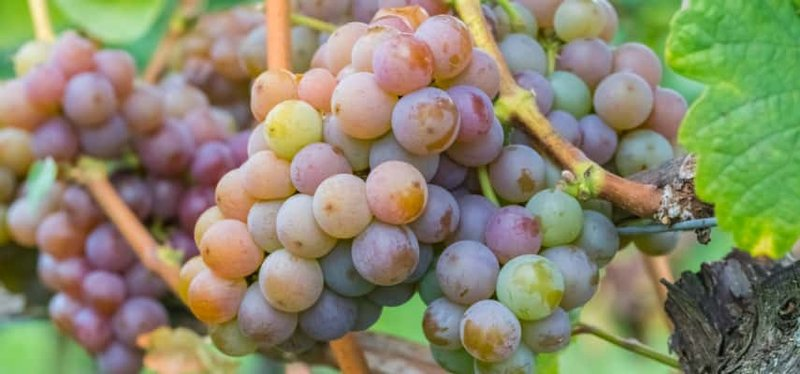 Jenis anggur Gewürztraminer.jpg