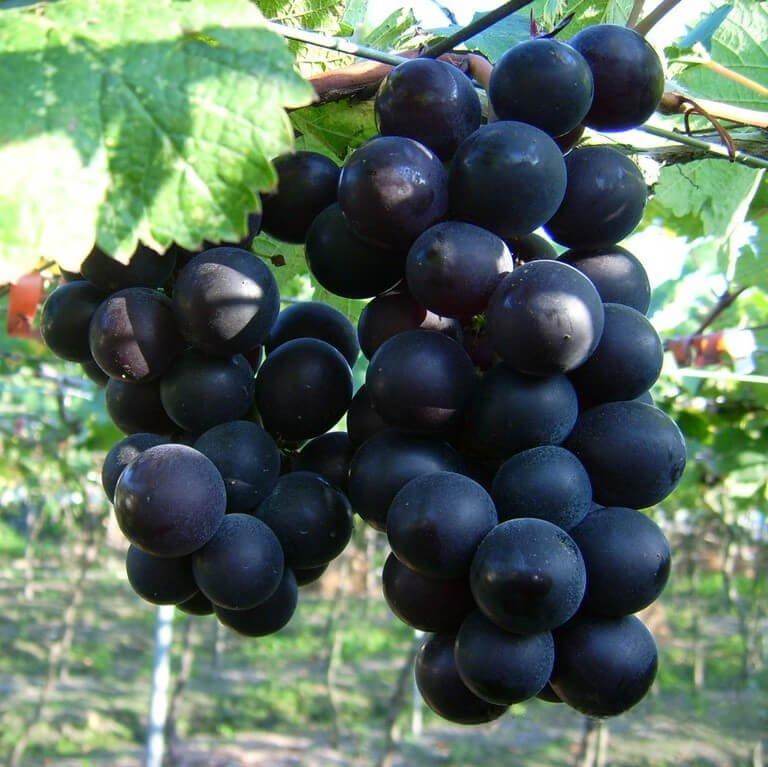Jenis anggur kyoho.jpg