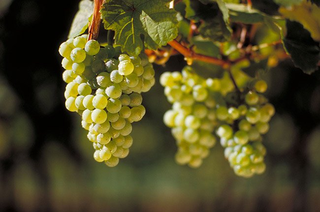 Jenis anggur riesling.jpg