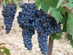 Jenis anggur sweet jubilee.jpg