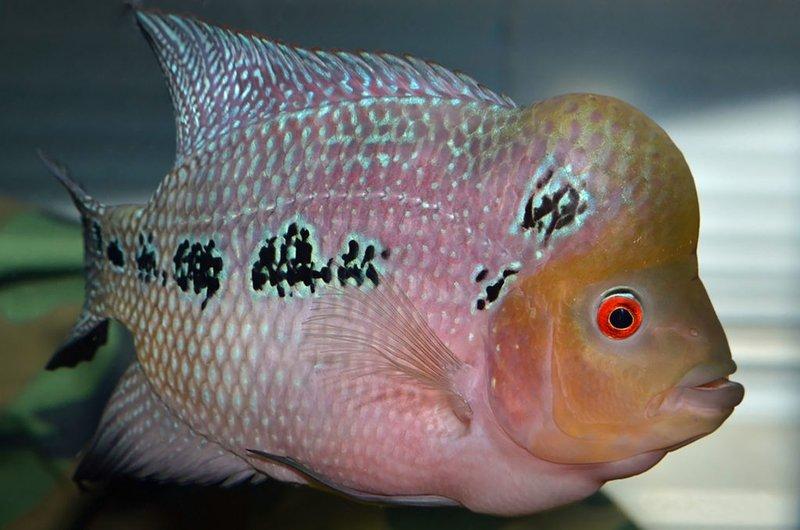 Jenis ikan louhan zhen zhu.jpg