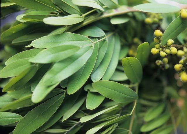 manfaat daun johar - antioksidan