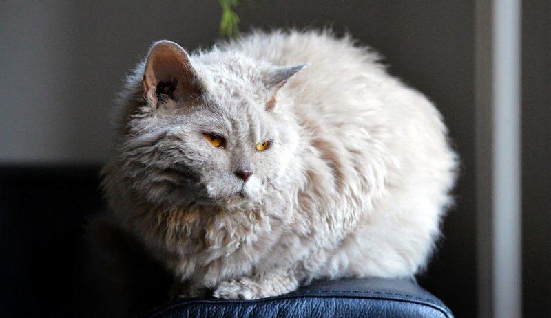 Kucing Lampkin (catvills.com).jpg