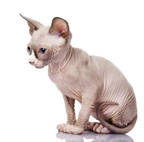 Kucing Minskin
