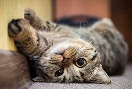 Tanda Kucing Sehat.jpg