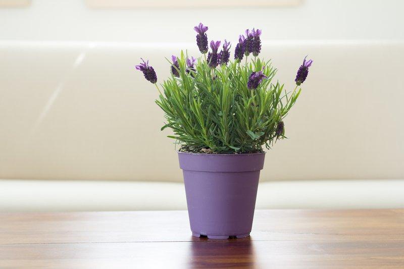 Lavender Tanaman Hias dalam Ruangan.jpg
