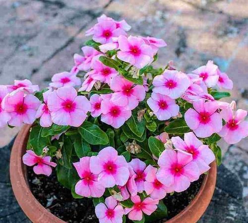 Bunga tapak dara untuk alzheimer
