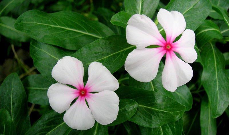 Bunga tapak dara dapat mencegah kanker