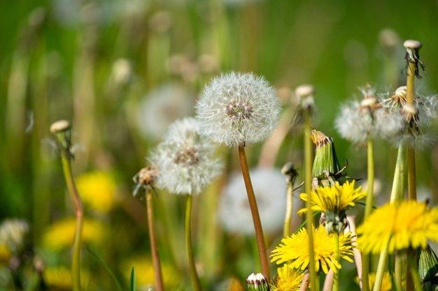 Manfaat Bunga Dandelion untuk Kesehatan.jpg