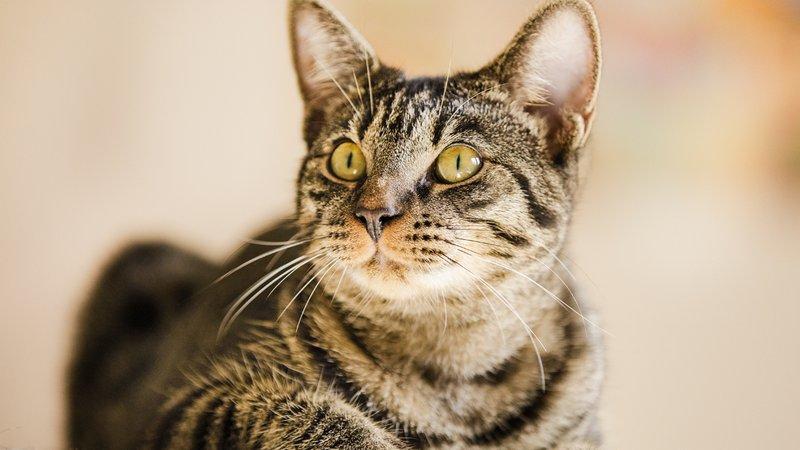 scabies kucing