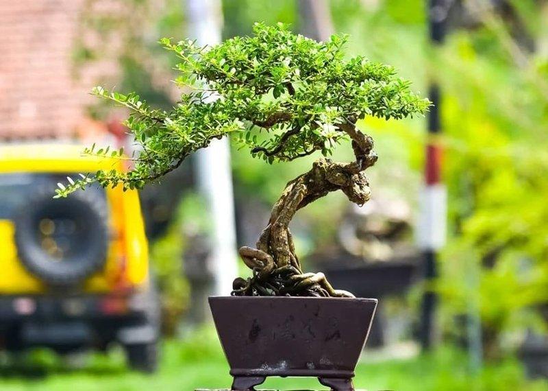 pohon santigi