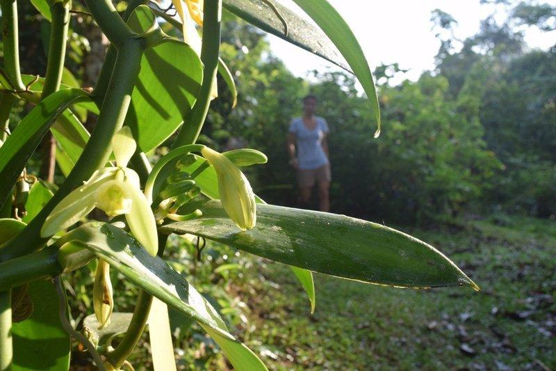 Pohon Vanili -1.jpg
