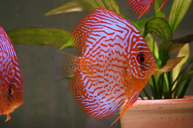 Red Discus.png