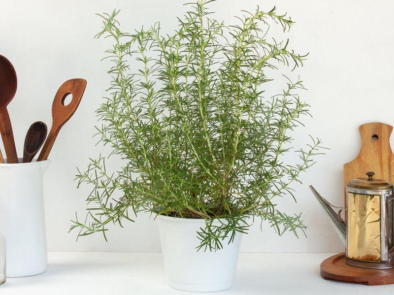 Rosemary - Tanaman Hias dalam Ruangan.jpg