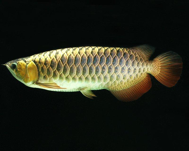Arwana Asia Golden