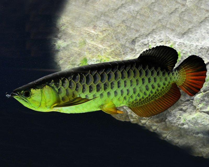 Arwana hijau asia