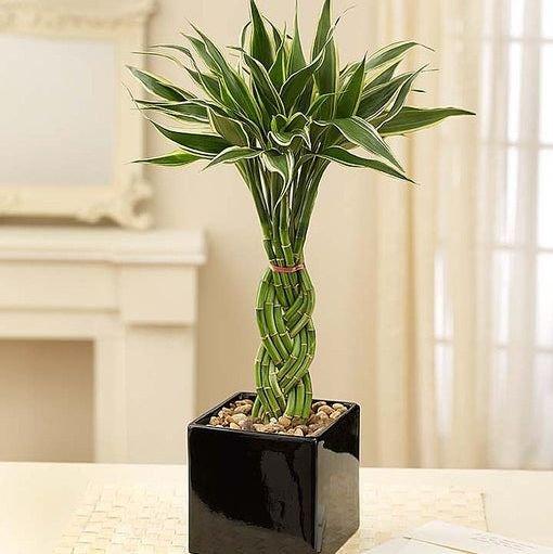 tanaman untuk kamar
