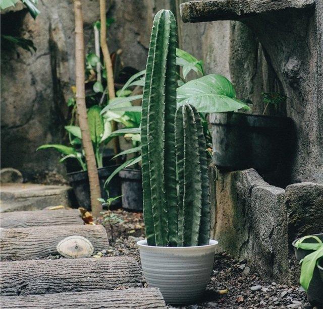 Tanaman Hias Daun Outdoor Kaktus Koboi