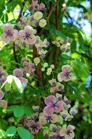Chocolate vine (Akebia quinata)