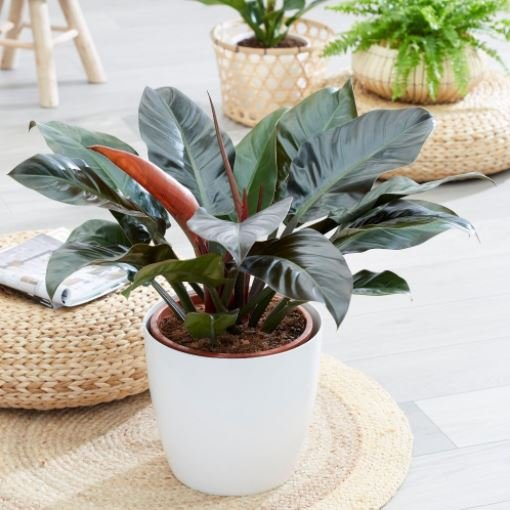 Tanaman Philodendron Imperial Red Cardinal