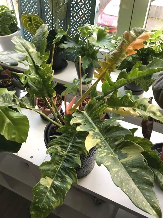 Tanaman Philodendron Ring of Fire
