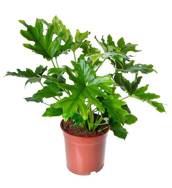 Tanaman Philodendron Selloum