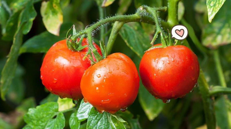 Tomat-Hero.jpg