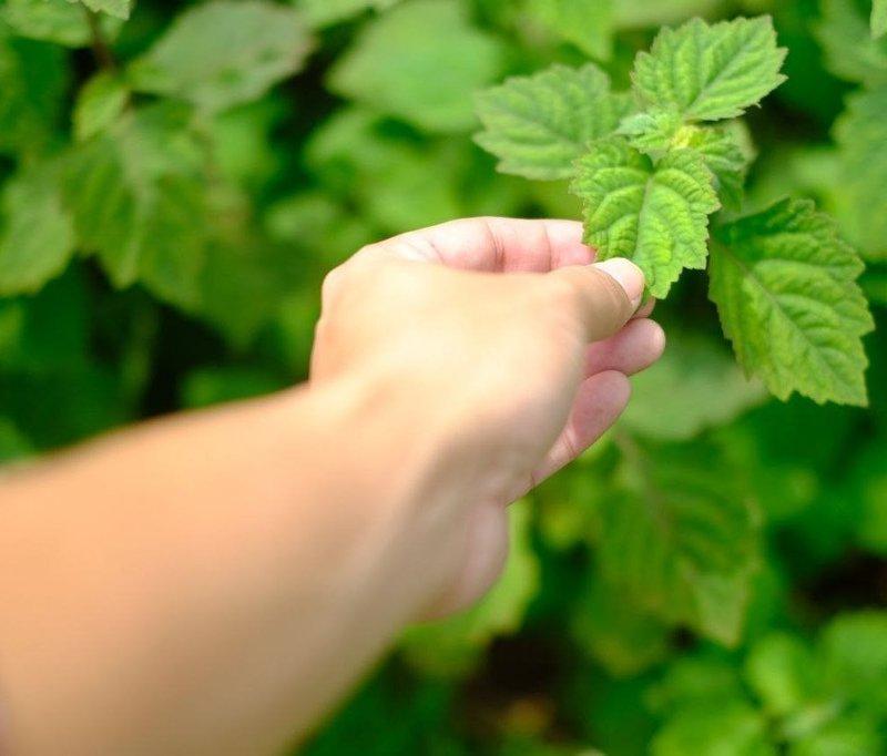 cara memanen tanaman nilam