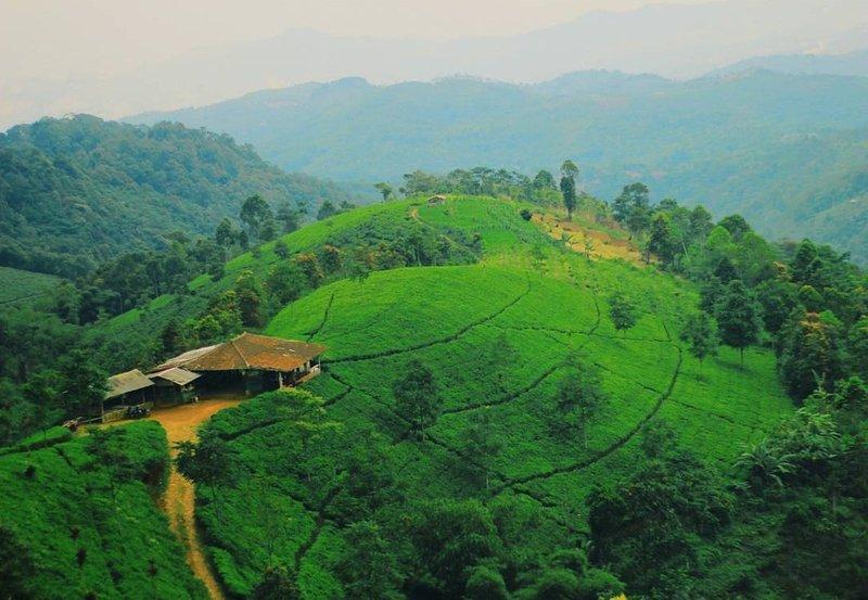 Wisata Majalengka Kebun Teh Cipasung