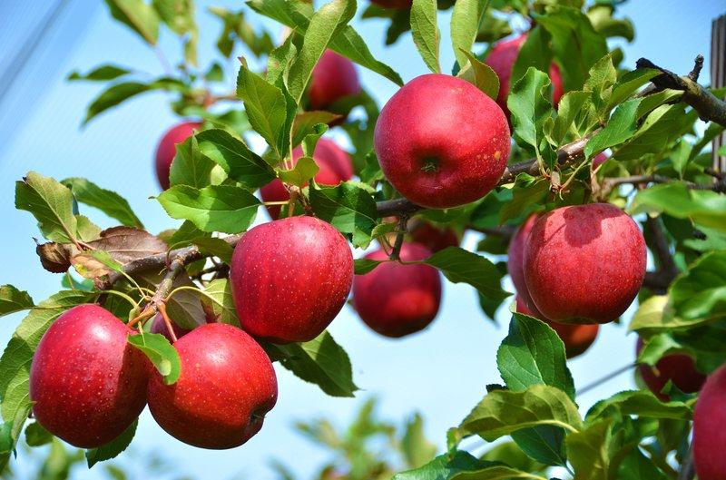 apples-on-branch.jpg