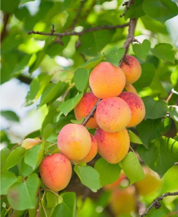 manfaat buah aprikot