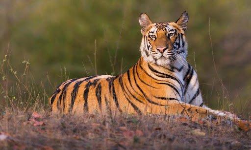 arti mimpi binatang harimau.jpg