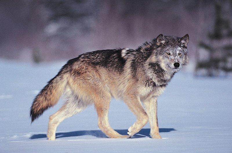 arti mimpi binatang serigala.jpg