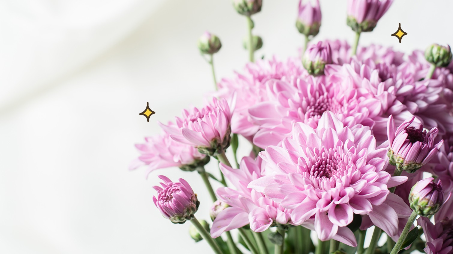 Download 5800 Koleksi Gambar Bunga Krisan Paling Cantik HD
