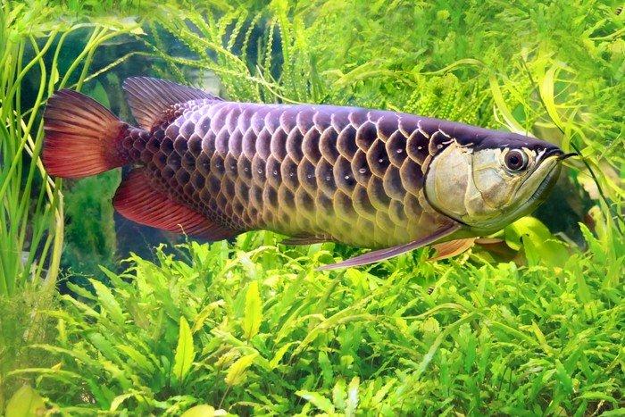 ikan akuarium arwana
