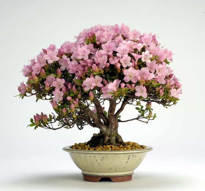 azalea-bonsai-tree.jpg