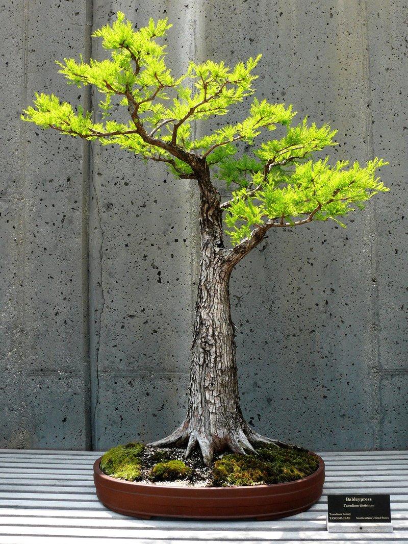 bald bonsai.jpg