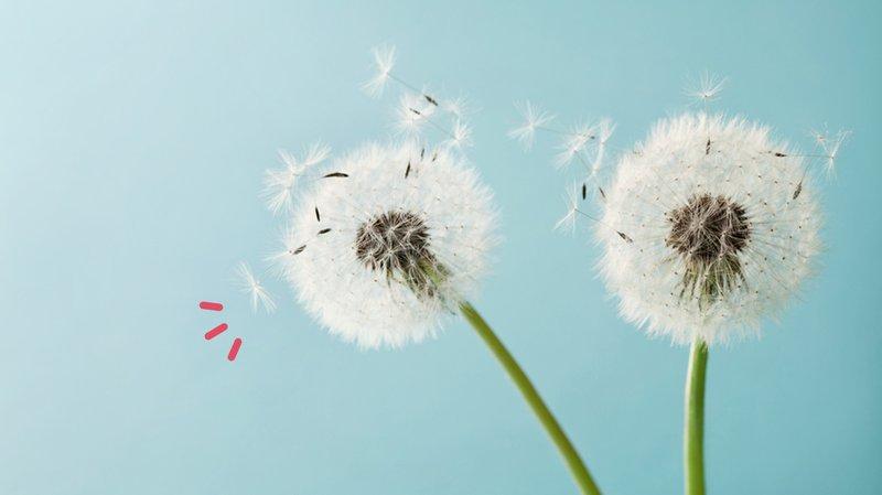 dandelion untuk cara menghilangkan kutil.jpg