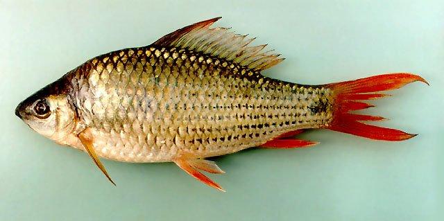 bentuk ikan nilem.jpg
