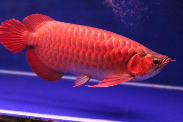 Penghias Interior Rumah Ini 8 Jenis Ikan Predator Untuk Dipelihara Dalam Akuarium Orami