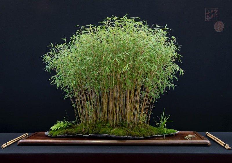 bonsai bambu.jpg