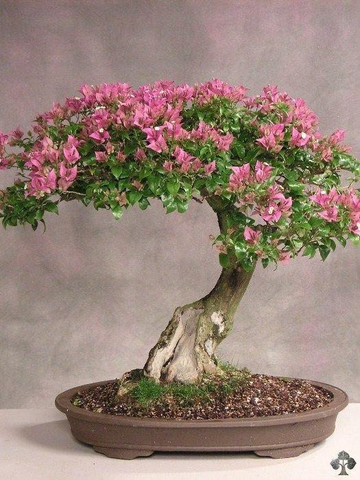 bonsai bugenvil.jpg