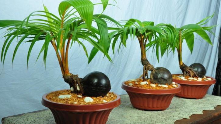 bonsai kelapa.png