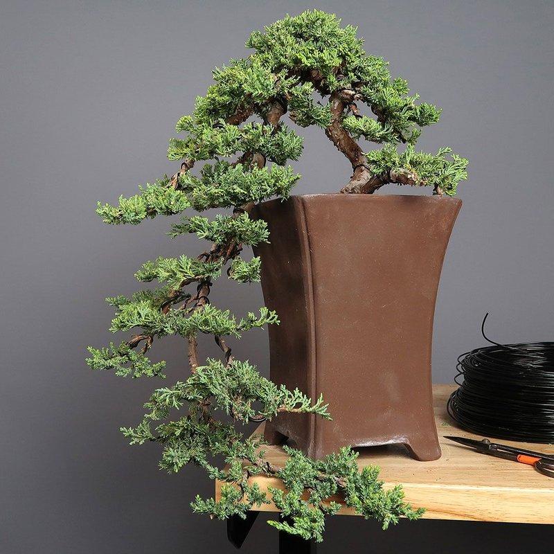 bonsi juniper.jpg