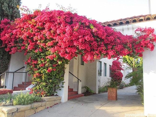 bougainvillea care growing tips for bougainvillea a flowering machine