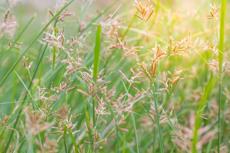 bunga-rumput-teki.jpg