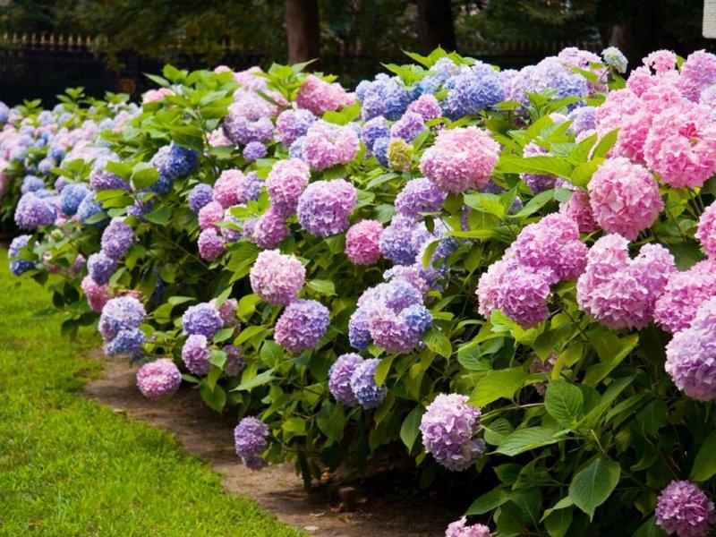 bunga hydrangea.jpeg