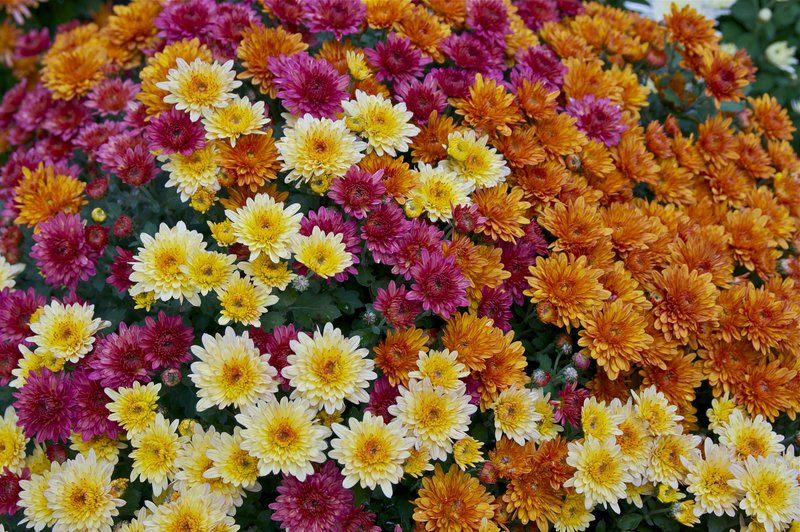 bunga krisan.jpg