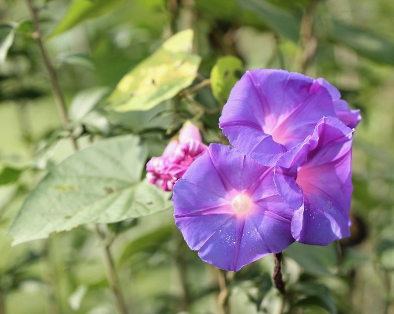 bunga morning glory.jpg